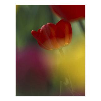 Carte Postale Les Etats-Unis, Utah, tulipes de vallée de