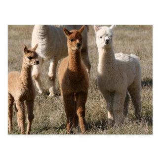 Carte Postale Les trois amis, Alpaga-Style