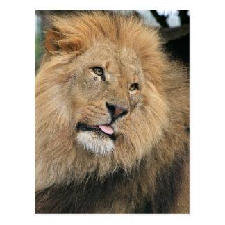 Carte Postale Lion collant la langue
