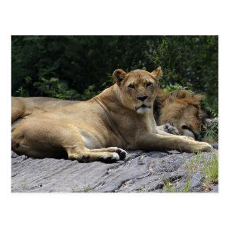 Carte Postale Lion et lionne