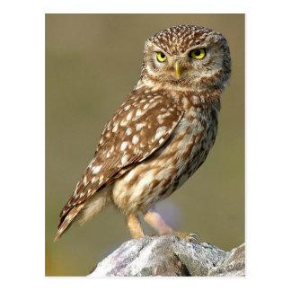 Carte Postale Little Owl (Athene noctua)