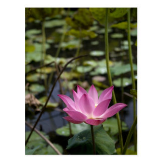Carte Postale Lotus