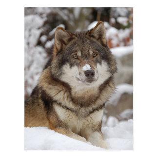 Carte Postale Loup d'hiver