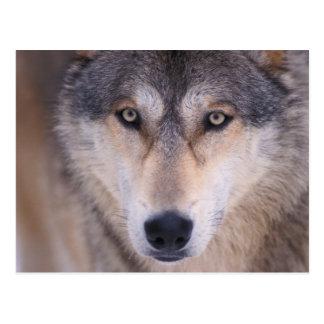 Carte Postale loup gris, lupus de Canis, fin des yeux dedans