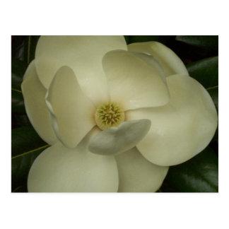 Carte Postale Magnolia