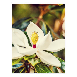 Carte Postale Magnolia en fleur