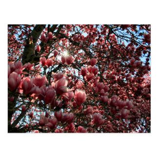 Carte Postale Magnolia japonaise