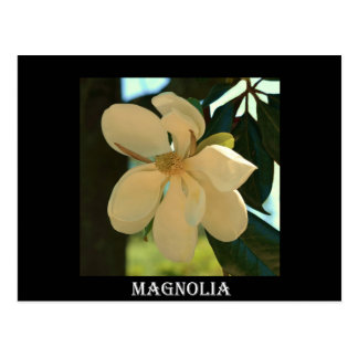Carte Postale Magnolia (le Mississippi et la Louisiane)