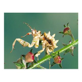 Carte Postale Mante tanzanienne de fleur, Pseudocreboter
