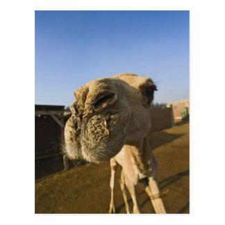 Carte Postale Marché de chameau, le Caire, Egypte