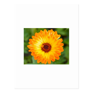 Carte Postale Marguerite orange