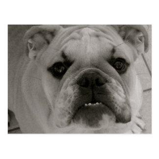 Carte Postale Maximum le chien anglais de Taureau