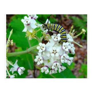 Carte Postale Milkweed et monarque