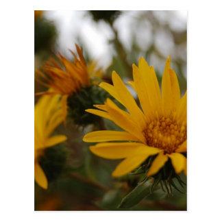 Carte Postale Milkweed jaune