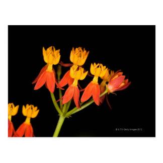 Carte Postale Milkweed tropical (curassavica d'Asclepias) -