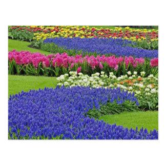 Carte Postale Motif de jacinthe de raisin, de tulipes, et de 3