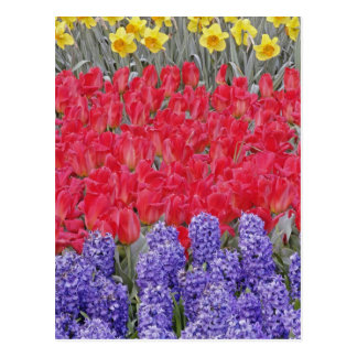 Carte Postale Motif de jacinthe, de tulipes, et de jonquilles,