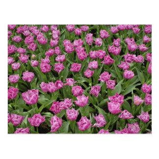 Carte Postale Motif de jardin des tulipes, jardins de Keukenhof,