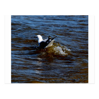 CARTE POSTALE MOUETTE SUR LA VAGUE QUEENSLAND AUSTRALIE