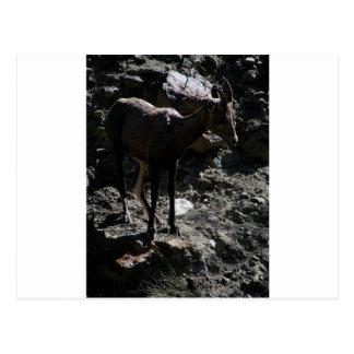 Carte Postale Mouflons d'Amérique de montagne rocheuse, brebis