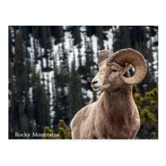 Carte Postale Mouflons d'Amérique - montagnes rocheuses