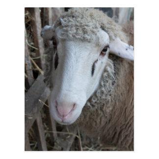 Carte Postale Moutons avec le foin