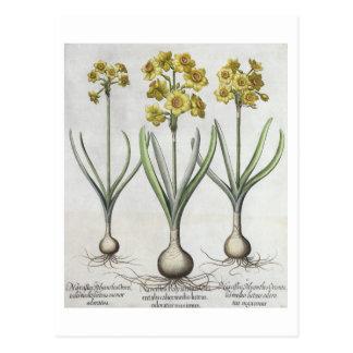 Carte Postale Narcisses de Tazetta, du 'Hortus l'Eystettensis