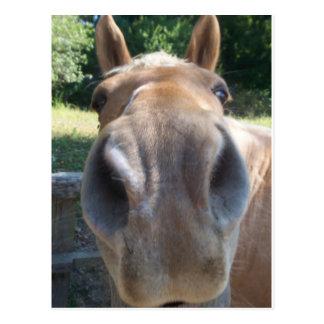 Carte Postale Nez de cheval