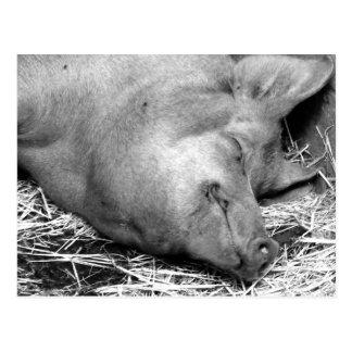Carte postale noire et blanche de photo de porc de