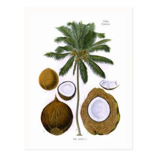 Carte Postale Nucifera de Cocos (cocotier)