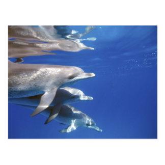 Carte Postale Océan atlantique a repéré des dauphins. Bimini,