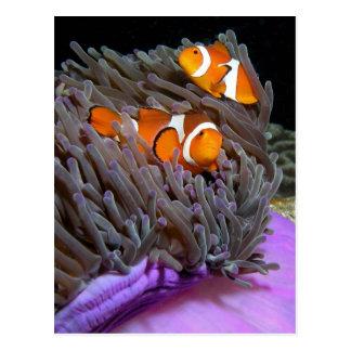 Carte Postale Ocellaris Clownfish