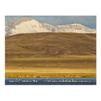 Carte Postale Oies de neige pendant la migration de ressort