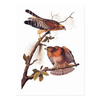 Carte Postale Oiseau d'Audubon de faucon de proie épaulé rouge