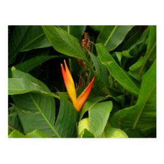 Carte Postale Oiseau-De-Paradis - La Martinique, FWI