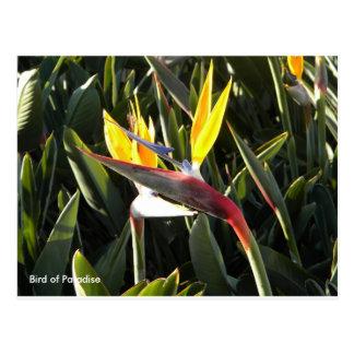 Carte postale, oiseau du paradis