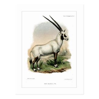 Carte Postale Oryx Arabe