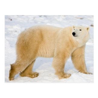 Carte Postale Ours blanc près de la baie de Hudson 2