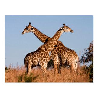 Carte Postale Paires de girafe