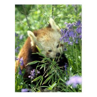Carte Postale Panda rouge