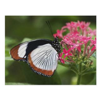 Carte Postale Papillon d'Afrique