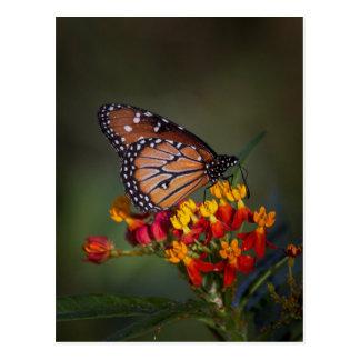 Carte Postale Papillon de reine sur le milkweed tropical