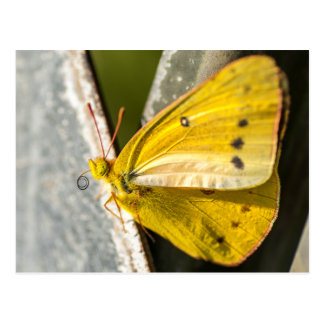Carte Postale Papillon de soufre orange