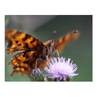 Carte Postale Papillon de virgule, c-album de Polygonia