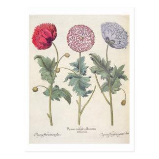 Carte Postale Pavots : rubicundis multiplex des albumoris