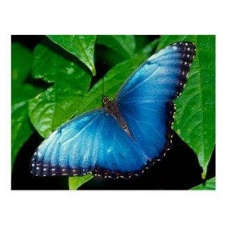 Carte Postale Peleides Blue Morpho (Morpho peleides)