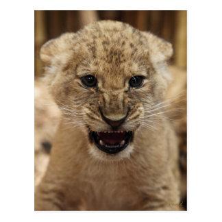 Carte Postale Petit animal de lion grondant