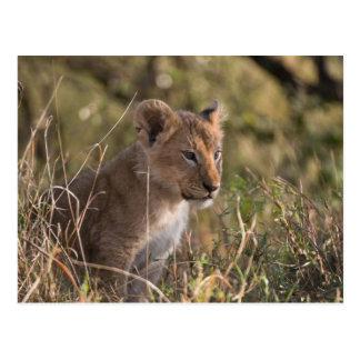 Carte Postale Petit animal de lion (Panthera Lion),