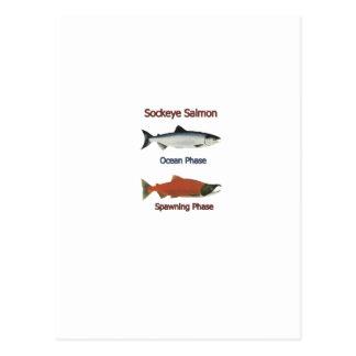 Carte Postale Phases de saumon de saumon rouge