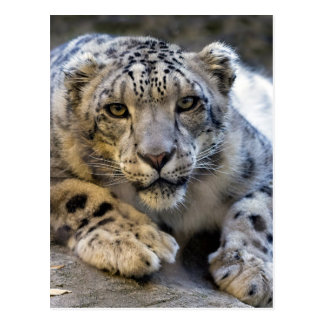 Carte Postale Photo de visage de léopard de neige